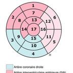 Anatomie du coeur coeur-oeil-de-boeuf-segmentation-myocardique