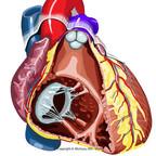Anatomie du coeur coeur-anterieur-interieur-ventricule-droit